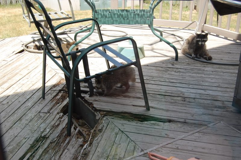 Raccoons have nimble hands…you think I can put them to work with a hammer to fix the deck?